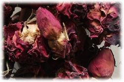 rosenbluetenknospennah.jpg