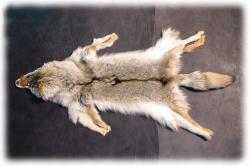 coyotenfelleinzelstueckj.jpg