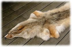 coyotenfelleinzelstueck17cf03b.jpg