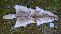 cojotenfellnr15.jpg